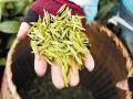 西湖龙井新茶明起逐步开采 4月中旬是买茶最佳时机