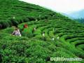 韩国茶原料进口额激增 中国成主要原料供给国