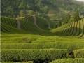 中国茶200年前传入桑巴国度 开创美洲种茶先例