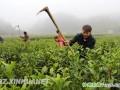 印江掀起茶园冬季管护热潮