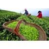 小作坊生产自己纯手工做茶