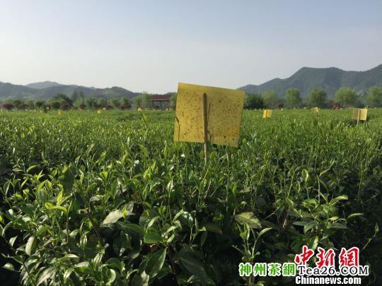 安徽从源头监管茶叶安全严查染色茶叶和农药残留