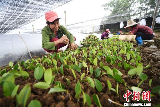 5月25日,茶农正紧抓育苗关键期进行栽种。 周亮 摄