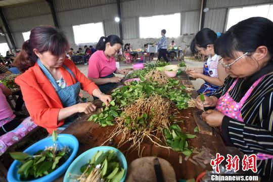 5月25日,江西省新余市分宜县凤阳镇社官前村油茶良种培育基地,村民正紧抓育苗关键期给油茶幼苗嫁接。 周亮 摄