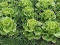 春季养生一定要多吃生菜