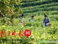 洞庭山碧螺春茶3月22日开采,27日批量上市