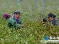 """镇江地产""""明前茶""""开采 预计价格1700至1800元每斤"""