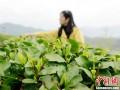 """湖北保康茶农忙采""""明前茶"""""""
