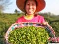 河南信阳茶文化节将启幕 以茶为媒毛尖搭桥揽客