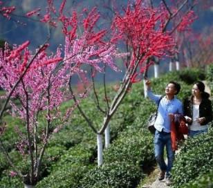 """陕西紫阳:""""半亩茶园""""的茶产业升级之路"""